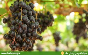 انگور سیاه باغ