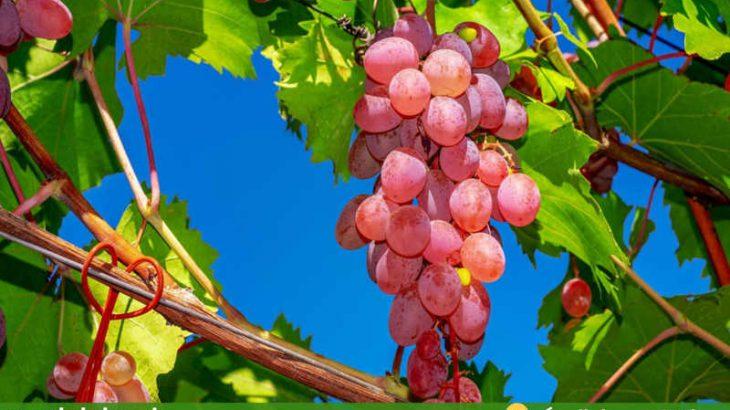 گلچین-تصاویر-میوه-های-تابستانی-انگور-۲