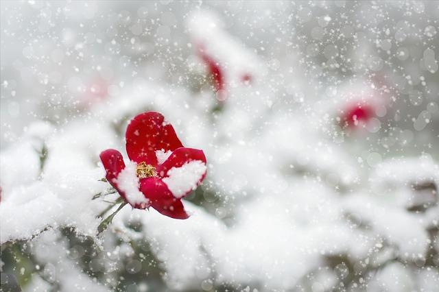 برف روی گل قرمز
