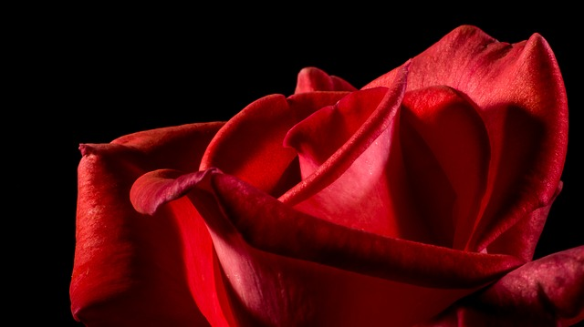 عکس جذاب گل قرمز