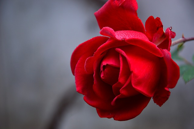 پروفایل گل قرمز
