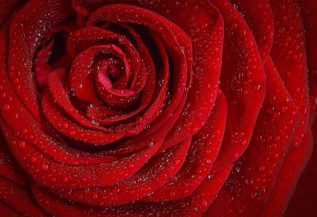 گل قرمز از نمای نزدیک