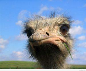 عکس پروفایل حیوان بامزه شترمرغ