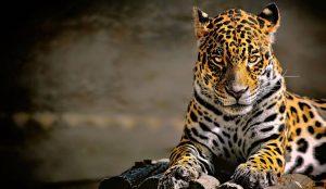 عکس پروفایل پلنگ زیبا